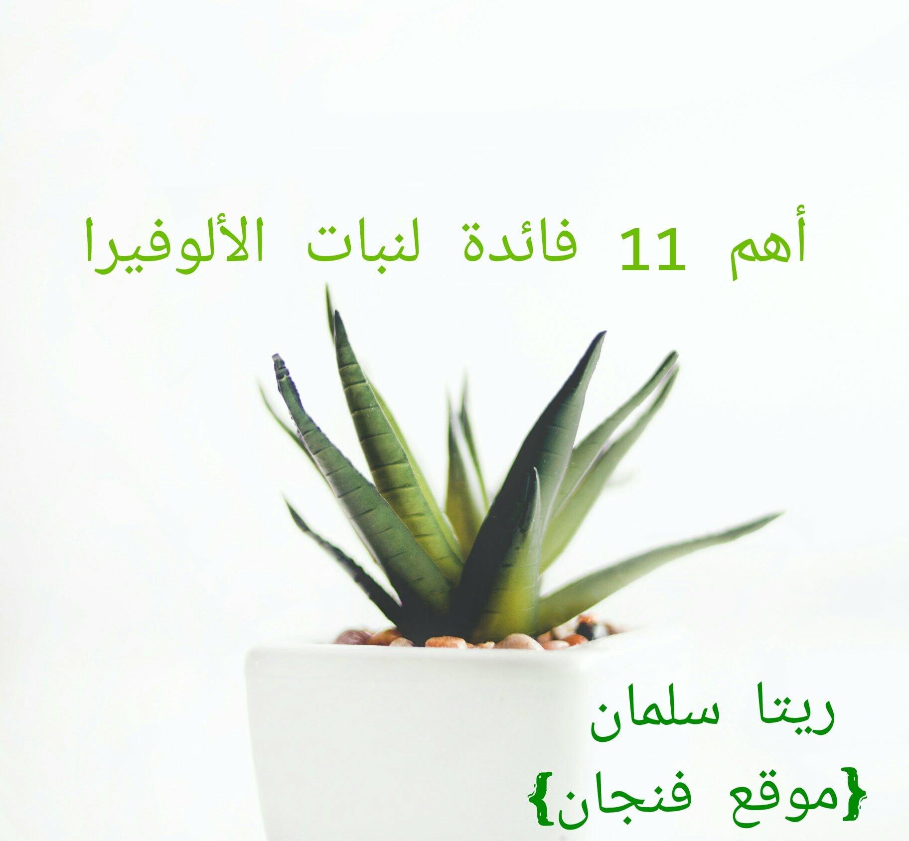 ١١ فائدة صحية وجمالية لنبات الألوفيرا