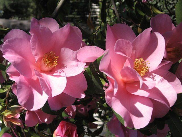 معلومات عن زهرة الكاميليا