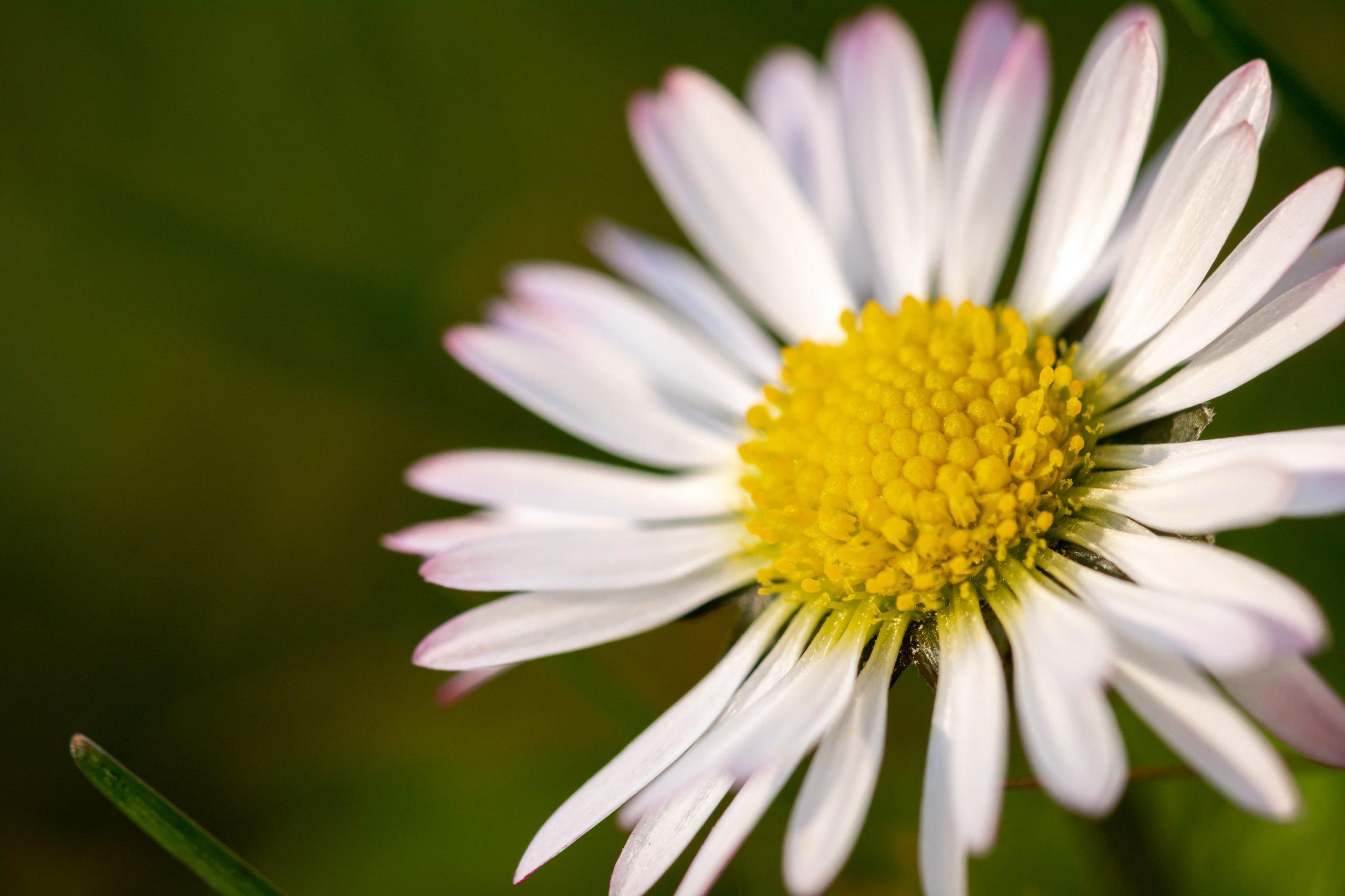 معلومات عن زهرة الأقحوان