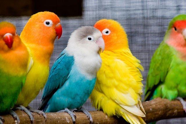 معلومات عن طائر الروز