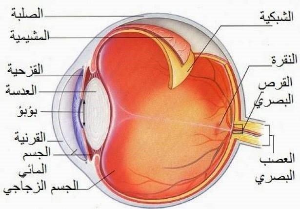 أجزاء العيون